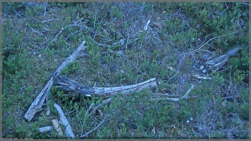 Isaslind külastab pesal hauduvat emaslindu / foto: Öösorri pesakaamera (5.06.2019)