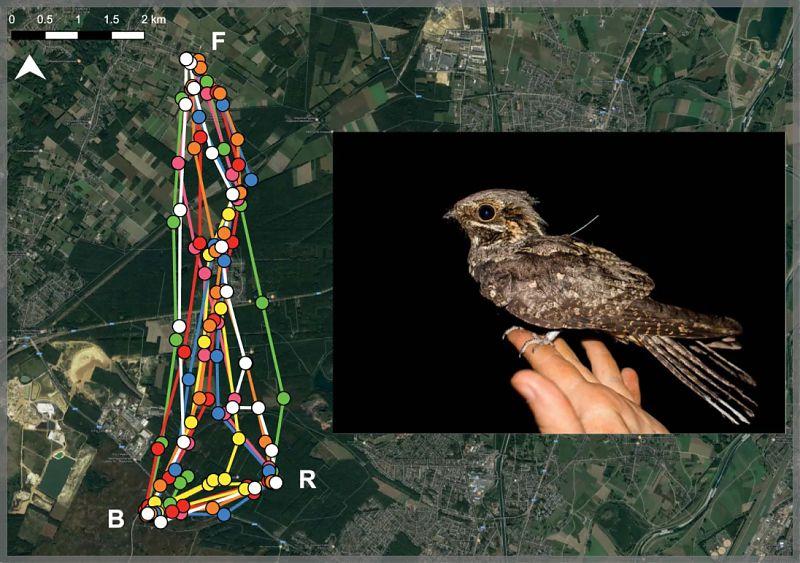 GPS-saatjaga öösorri öised liikumised nädala jooksul. Iga värv tähistab erinevat ööd. F – toitumisala, R – puhkeala, B – pesitsusala. Evens et al. 2018. Scientific Reports (avaldatud CC BY 4.0 (http://creativecommons.org/licenses/by/4.0/) litsentsi alusel