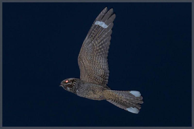 Öösorril on suhteliselt suured valgustundlikud silmad. / foto: Paul, Flickr.com